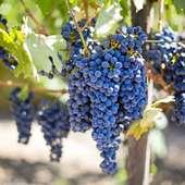 🍇Desde mediados del mes de septiembre y hasta finales de octubre es la época de la recogida de la uva, dependiendo del clima 🍇 y por ello se convierte en la reina y señora de nuestras fruterías. 🍷Ya en nuestros días, además de para producir vinos 🍷y mostos🍸 la uva se utiliza como un elemento más dentro de nuestra gastronomía, con la que podemos disfrutar comiéndola fresca o introduciéndola en multitud de platos🍽, tanto dulces como salados. 🍇De la piel y semillas de la uva negra también podemos obtener sustancias antioxidantes como (Resverasor, Polifenoles, Antocianidinas...) las cuales tienen un efecto favorable contra los efectos que los radicales libres producen en nuestro organismo.  #herbolariosartesano #enartesanotecuidamos #resveratrol#radicaleslibres #antioxidante#piel#uva #cuidarse#fruta#alimentacion